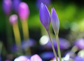 淡粉红色(或紫红色),端庄秀丽,受人喜爱的秋水仙