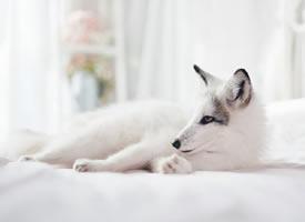 一只流浪小院里的雪白的白狐图片欣赏