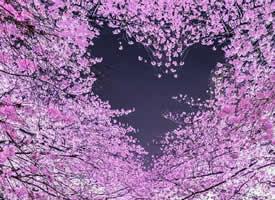 夜間櫻花也美的別有一番韻味