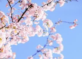 春天里一組粉色浪漫櫻花圖片