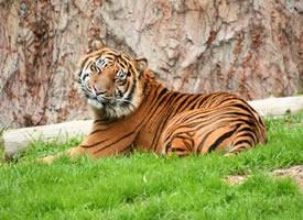 行动间体态呈流线型,肌肉结实健美的老虎