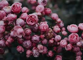 蔷薇花浅粉的像小姑娘羞红的小脸蛋
