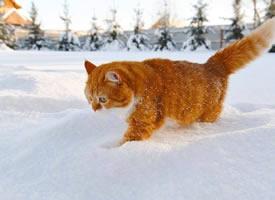 奔跑中的大橘,一道橘光在雪中划过