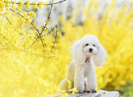 小狗狗和迎春花一起合拍的图片欣赏