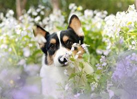春天来了 汪们都出来看魅力的花朵了