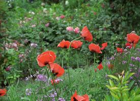 吉维尼,莫奈的房子和花园里有着美丽的鲜花