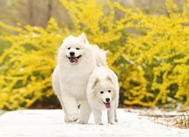 两只萨摩映着迎春花在雪地中奔跑的场景