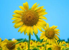 一组高清的向日葵花美丽图片大全