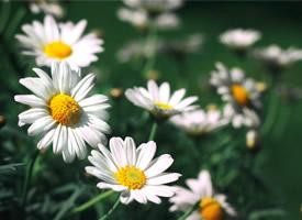 可愛漂亮的小雛菊小清新高清圖片欣賞