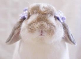 垂耳兔Poco 軟軟的小圓腦袋 一看就很好揉