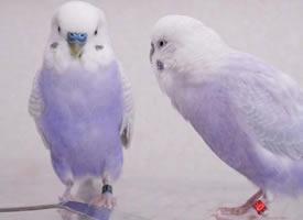 香芋色的虎皮鸚鵡,這個顏色好仙好好看啊