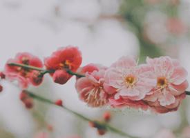 桃紅柳綠、桃花爛漫、灼灼芬華的桃花