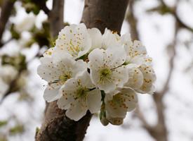 一組春日唯美櫻花高清圖片欣賞