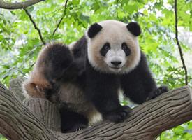 一组稀有动物大熊猫图片欣赏