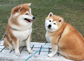 一只胖胖柴犬,这怕是只柴猪吧