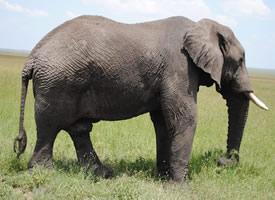 一組強壯的野生大象高清圖片欣賞