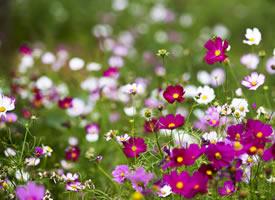 一组各种颜色美丽的格桑花图片欣赏