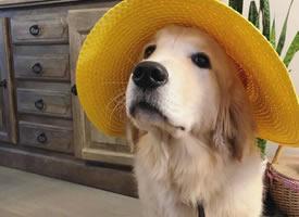 一组超级可爱的大金毛狗狗图片欣赏