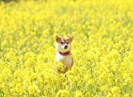油菜花海和元气满满的小柴犬图片