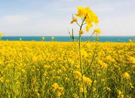 清新自然油菜花风景高清图片欣赏