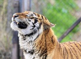春日暖阳里惬意的虎大王图片欣赏