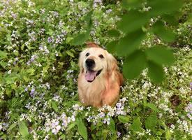 大金毛的春天也特别美的图片欣赏