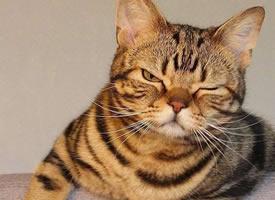 看起来痞帅痞帅的一只猫图片欣赏