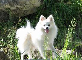 德国狐狸犬都非常聪明、活泼