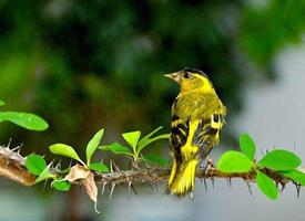 一只巴掌大爱吃嫩芽、种子以及少量昆虫的鲜黄色小鸟