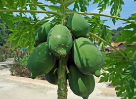 一组挂在树上的青色的木瓜图片欣赏