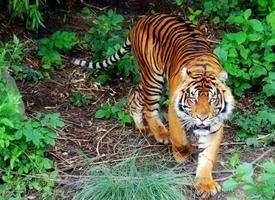 苏门达腊虎是现存体型最小的虎亚种