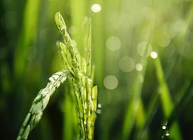 绿色小麦高清护眼电脑壁纸欣赏