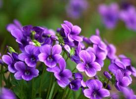 一组特别唯美的紫色地丁花图片欣赏