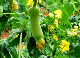 一組長長的絲瓜含有多種營養的蔬菜