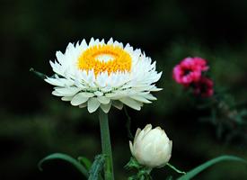 有多種顏色的蠟菊花圖片欣賞
