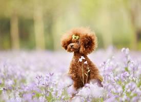 一组超级可爱的泰迪狗狗在花丛中