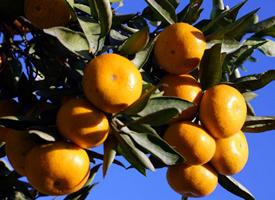 各种各样的柑橘,味道都不相同