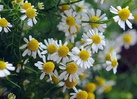 一组洁白无瑕简单好看的雏菊图片