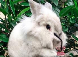 夏威夷的Nova,一只走在時尚尖端的潮兔
