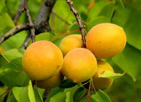 一组长在树上的红红的杏子图片欣赏