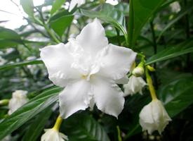中国常见植物,狗牙花是夹竹桃科的灌木花卉
