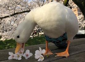 吸一口秀气的樱花鸭图片欣赏