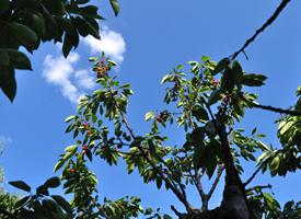 一组挂满红红的樱桃树图片欣赏
