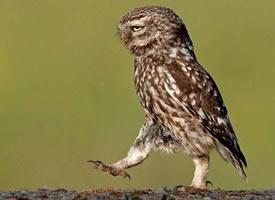 霸气的猫头鹰,这帅气的走姿,碉堡了