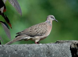 斑鳩是一種身形和鴿子很像的動物