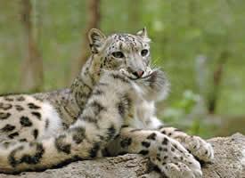 喜欢咬着自己的尾巴的雪豹,莫名有种威严的萌感