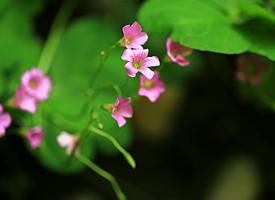 一组简单美丽的红花醡浆草花朵特写图片