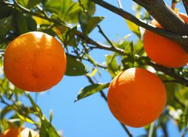 树上等待采摘的橙子图片欣赏