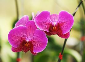 鲜艳唯美的蝴蝶兰图片桌面壁纸