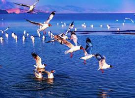 一组玛旁雍措红嘴鸥在海上飞的图片